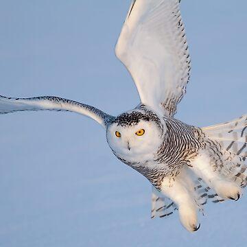 Snowy Owl in flight by darby8