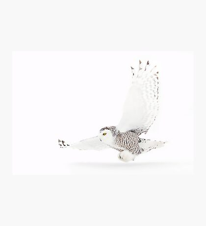A snowy owl lands Photographic Print
