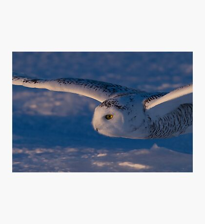 Snowy Owl flys at Sunset Photographic Print