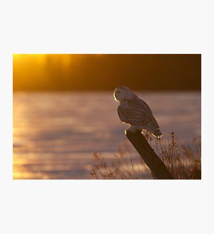 Sunset Hunter - Snowy Owl Photographic Print
