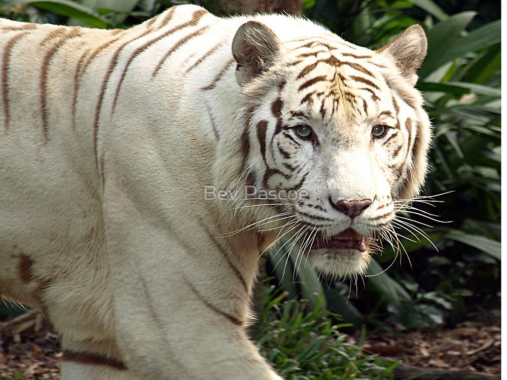 White Tiger on the prowl  by Bev Pascoe