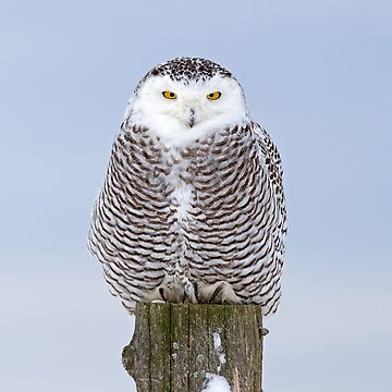 Snowy Owl on post by darby8