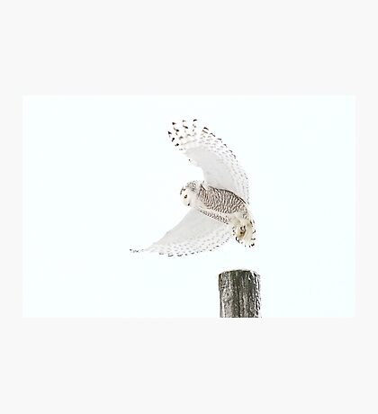 Startled - Snowy Owl Photographic Print