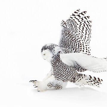 Snowy Owl catching prey by darby8