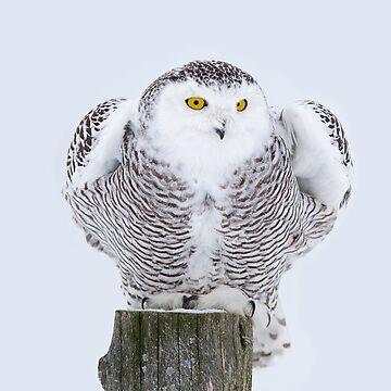 Perch - Snowy Owl by darby8