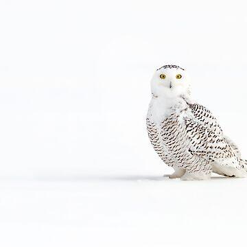 Cast a shadow - Snowy Owl by darby8
