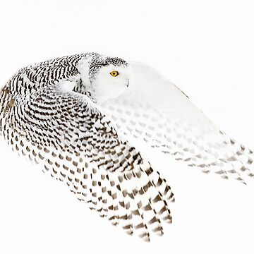 Wings Out - Snowy Owl by darby8
