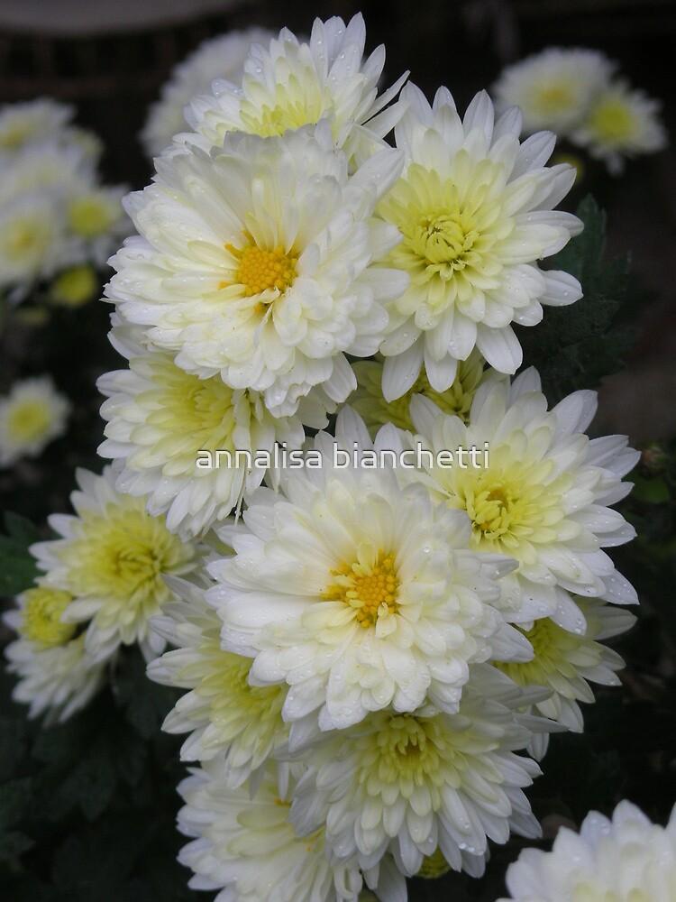 Small white chrysanthemums by annalisa bianchetti