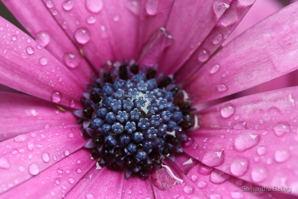 Rain Spattered Daisy by Samantha Bailey
