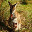 Wallaby and her Joey by Of Land & Ocean - Samantha Goode