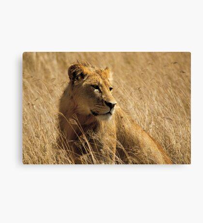 Lion (Panthera leo) Canvas Print