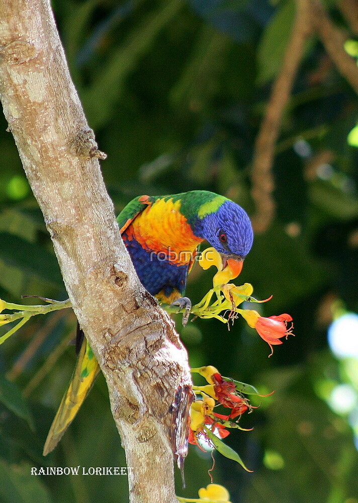 Rainbow Lorikeet by robmac