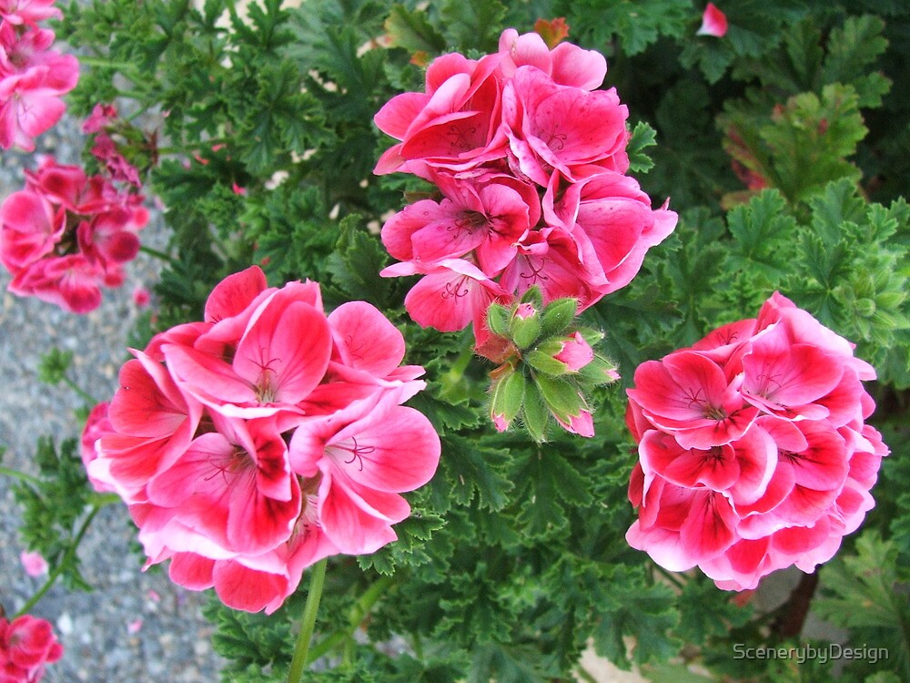 Geraniums (3102) by ScenerybyDesign