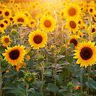 Sun Bathing Sunflowers  by pinkarmy25