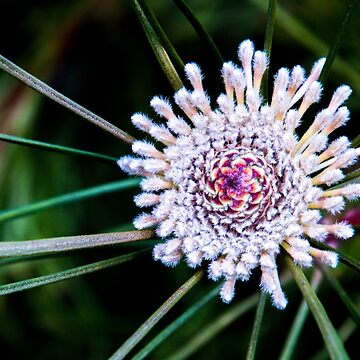 Flannel flower by indiafrank