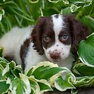 My Theodore ~The English Springer Spaniel~ 3 by Gypsykiss