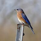 Eastern Bluebird by swaby