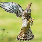 Kestrel Landing by MikeSquires