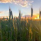 Wheat sunrise by Grant Scollay