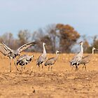 Sandhill Cranes 2018-4 by Thomas Young