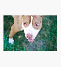 pit bull gaze Photographic Print