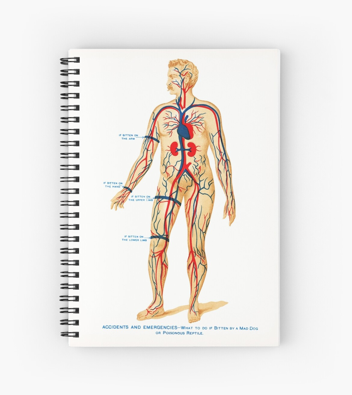 vintage Anatomy drawing of man blood veins heart\