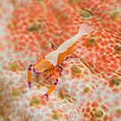 Emperor shrimp  by Stephen Colquitt