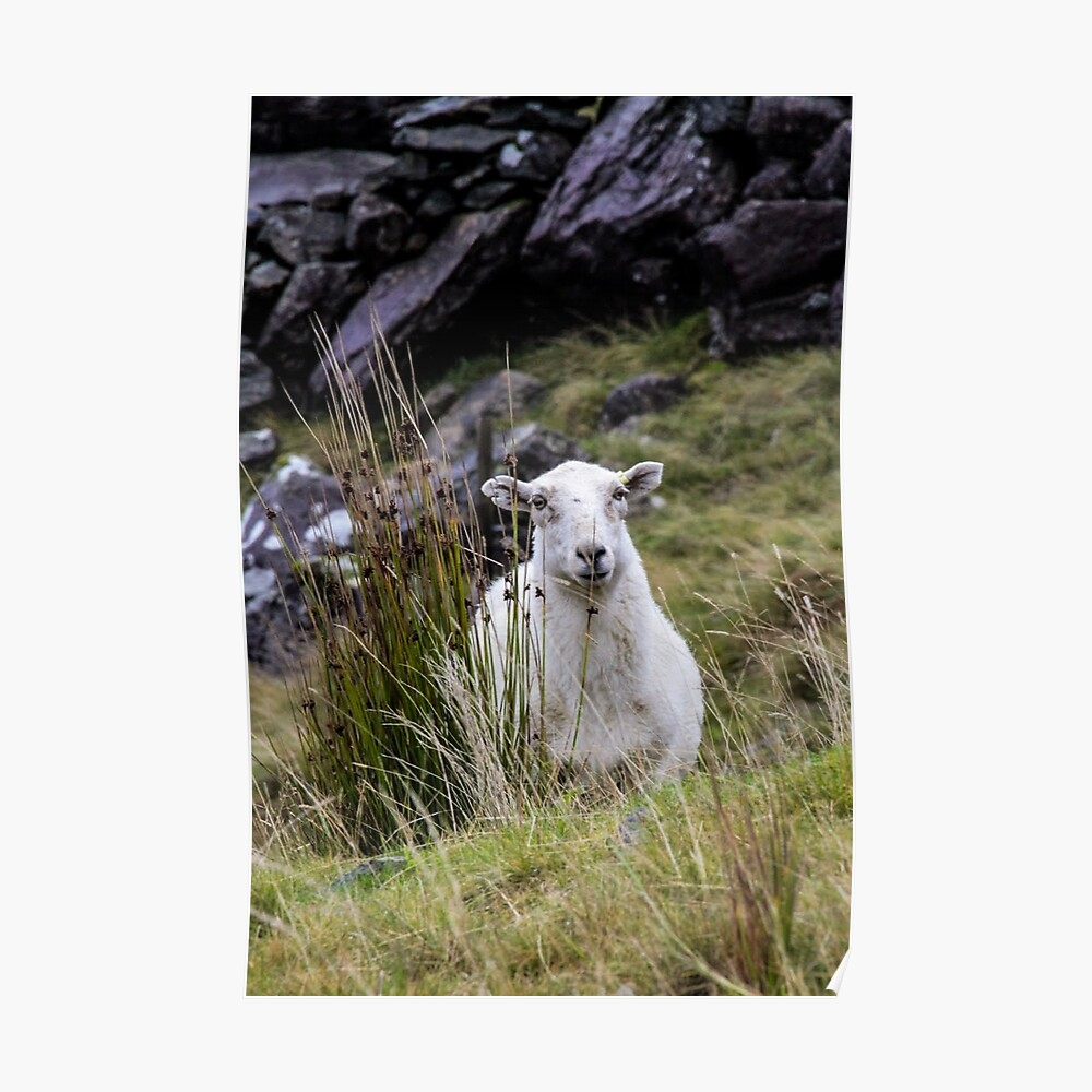 Welsh Sheep Poster