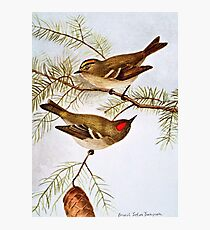 Golden and Ruby Crowned Kinglets Photographic Print