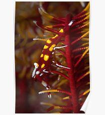 Crinoid shrimp on red crinoid - in detail  Poster