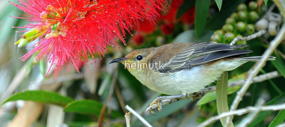 Scarlet Honeyeater . by helmutk