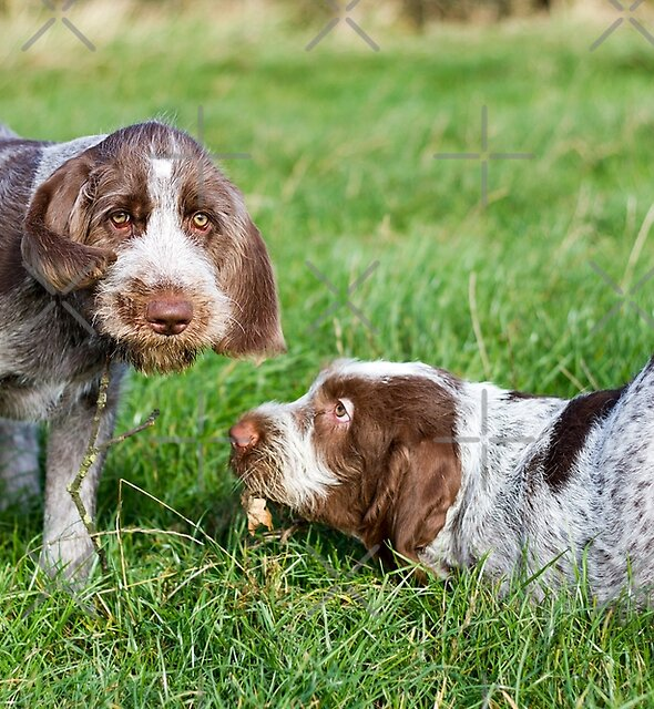 Brown Roan Italian Spinone Puppies Playing by heidiannemorris