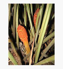 Zamia amblyphyllidia Photographic Print