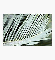 Encephalartos princeps Photographic Print