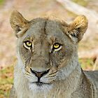 Lioness in Botswana by Kay Brewer