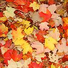 Colorful Maple, Autumn Leaves by Ryan McGurl