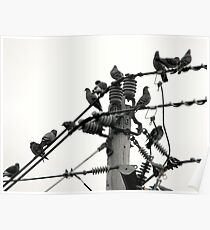 Pigeons on Wire Poster