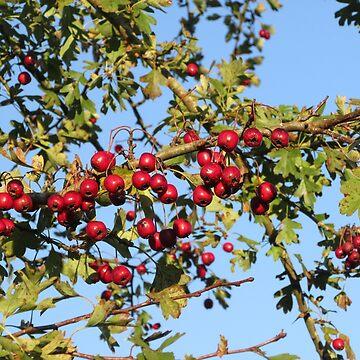 Hawthorn Berries - Crataegus by lezvee
