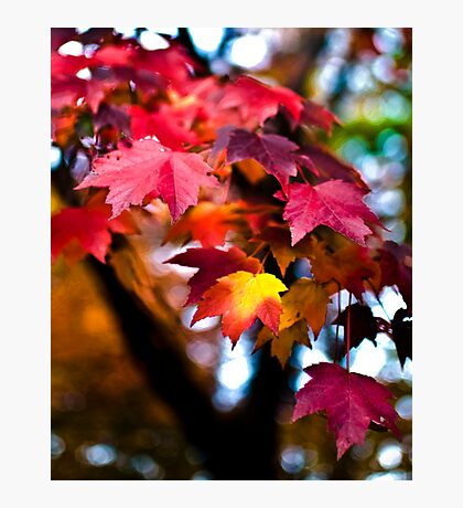 Colors of Maple Photographic Print