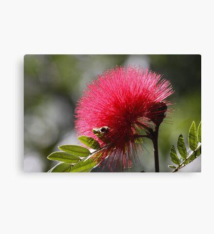 Monkey Pod Flower Canvas Print