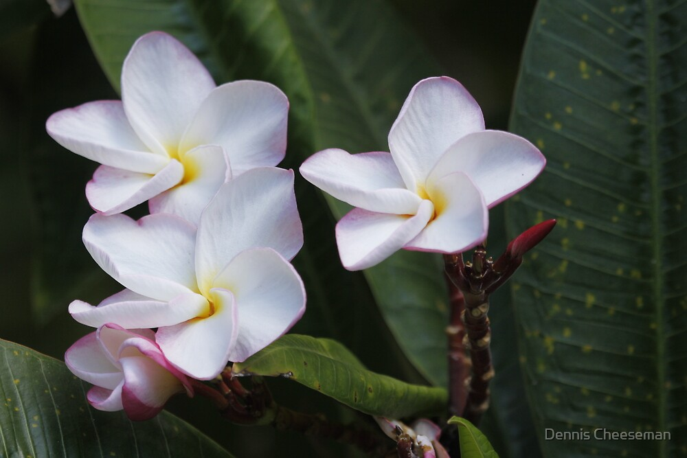Plumeria flowers by Dennis Cheeseman