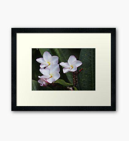 Plumeria flowers Framed Print