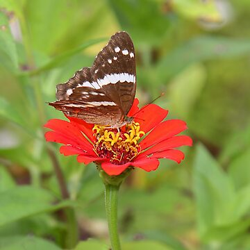 Zinnia with Butterfly by Carole-Anne