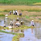 Harvesting rice, Hoi An by Traveldreams
