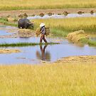The rice harvest, Hoi An by Traveldreams