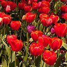 Red Spring Flowers by fab2can