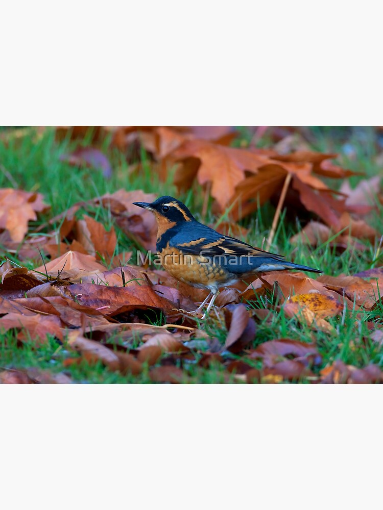 Varied  Thrush, Autumn Leaves by MartinSmart