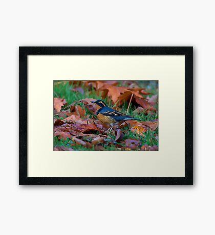 Varied  Thrush, Autumn Leaves Framed Print