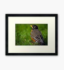 Robin in the Grass Framed Print