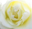 Wedding Rose by John Dalkin